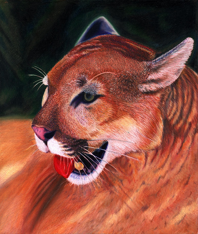 Puma or mountain lion colored pencils illustration